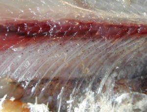 I disturbi provocati dall'Anisakis. È pericolosa per l'uomo quando il pesce, non eviscerato immediatamente, consente la trasmigrazione dei vermi dalle sue viscere alle sue carni