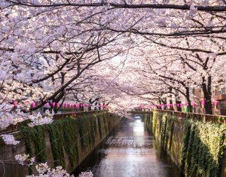 Mentre a Milano imperversa la discussione- a dire il vero molto sterile- sulle palme in Piazza Duomo, in Giappone iniziano a fiorire i ciliegi di Kawazu, a pochi chilometri da Tokyo