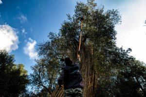 raccolta delle olive al parco dei paduli in Salento