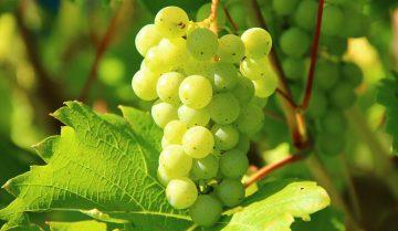 vitigni aromatici