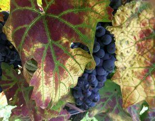 I colli berici presentano i loro vini