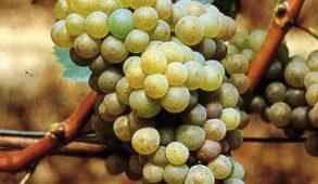 vini bianchi del piemonte: arneis