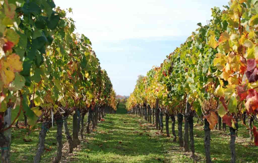 Fiano, il vino aristocratico. i vigneti