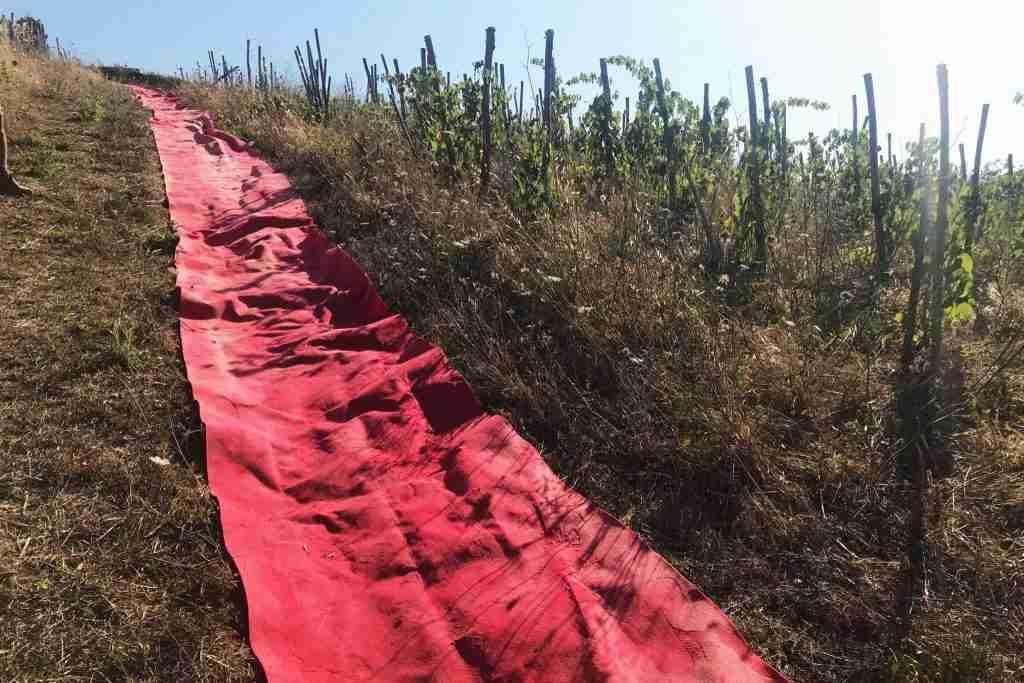 visioni di Toscana - La Maliosa passatoia rossa in vigna eroica