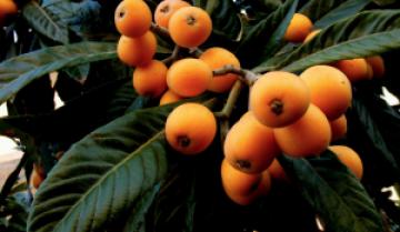 frutto-dimenticato-nespola