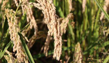 Storia del riso: il viaggio dell'oryza sativa dall'Oriente all'Occidente